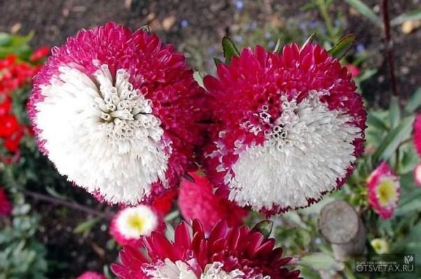 Астра цветы выращивание из семян 76