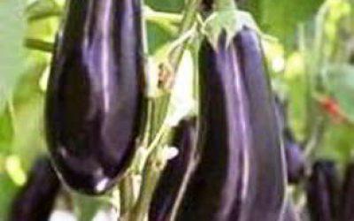 баклажаны выращивание