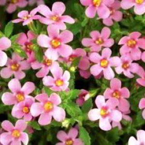 Бакопа — фиалка магия любви: как вырастить из семян с фото