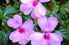 Бальзамин садовый: посадка и уход фото, когда сажать в грунт