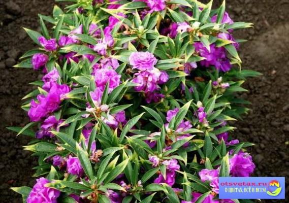 бальзамин садовый выращивание из семян дома фото