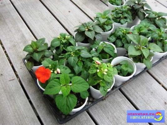 бальзамин садовый выращивание из семян в грунт