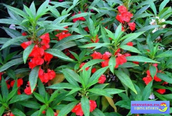 бальзамин садовый выращивание из семян в домашних условиях