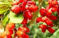 Барбарис: посадка и уход за кустарником в открытом грунте