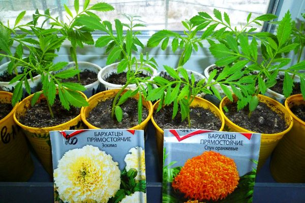 бархатцы выращивание когда сажать в 2018 году