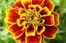 Бархатцы: выращивание из семян когда сажать на рассаду
