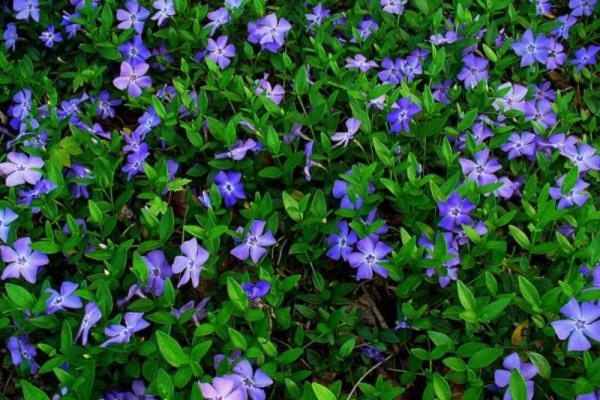 почвопокровные цветы многолетники цветущие