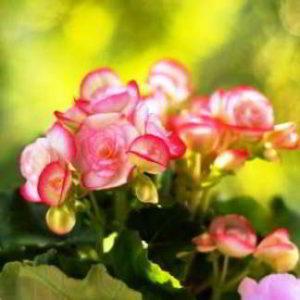 Бегония из семян выращивание в домашних условиях