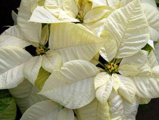 цветок пуансетия уход