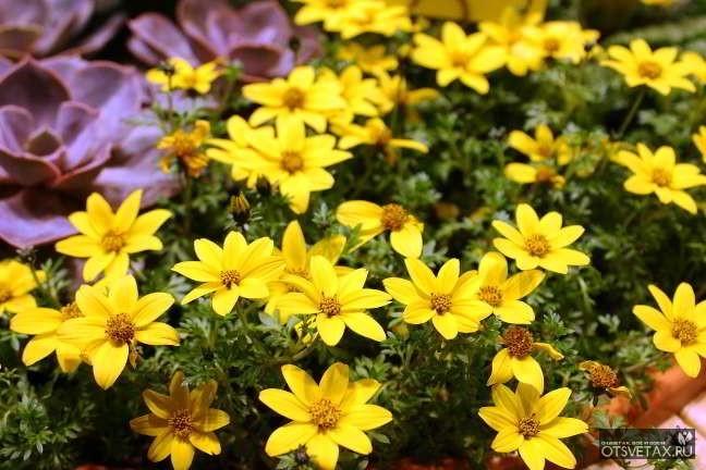 какие цветы сажают осенью в грунт