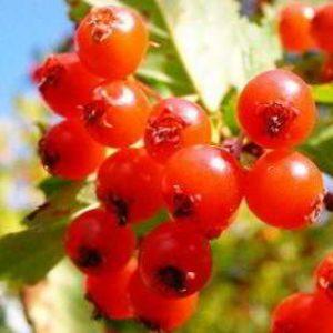 Боярышник: полезные свойства, рецепты, противопоказания