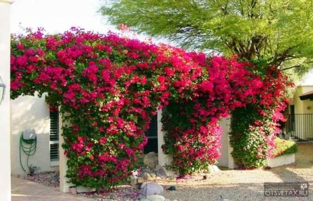 вьющиеся растения для сада фото и названия на букву б