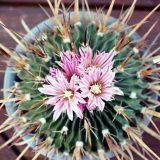 комнатные цветы цветущие фото с названием