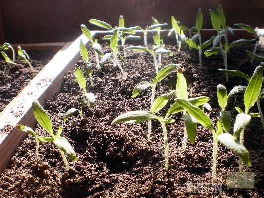 чем подкормить рассаду перцев чтобы были толстенькие ростки