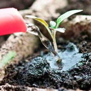 Чем, когда и как подкармливать рассаду помидор, чтобы она выросла здоровой и крепкой