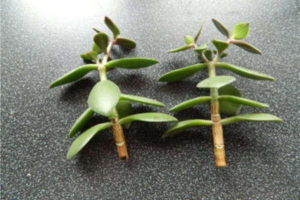 денежное дерево как посадить отросток без корешков