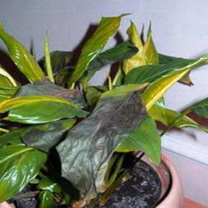 Почему у спатифиллума чернеют листья по краям, в середине, что делать?