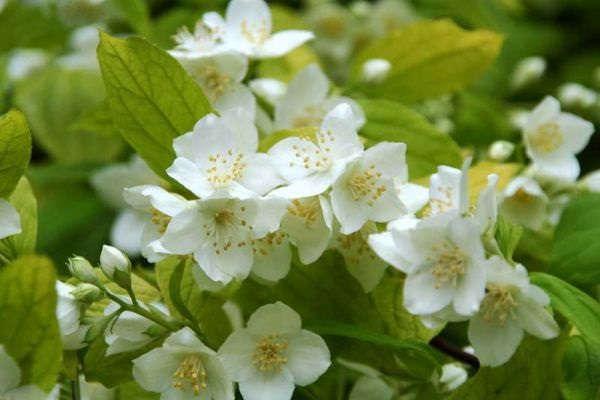 декоративный кустарник для дачи цветущий