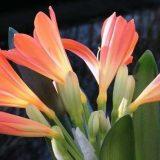 цветы комнатные цветущие фото и названия каталог