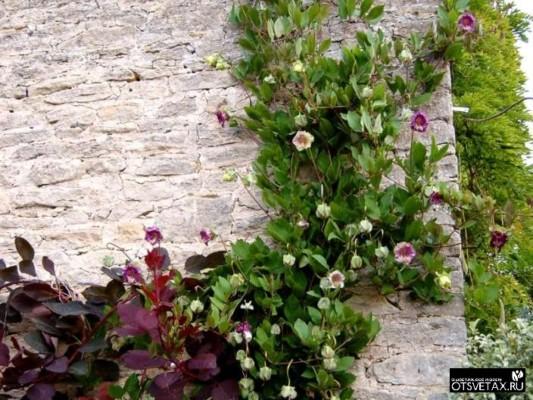 кобея выращивание из семян в домашних условиях для балкона