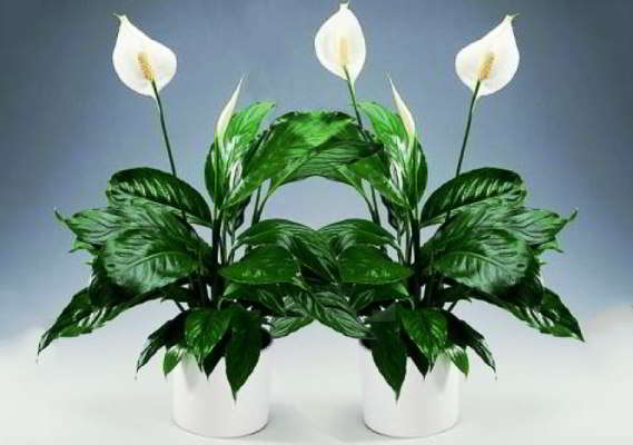 cvetok-spatifillum-zhenskoe-schast'e