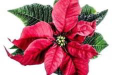Пуансетия, рождественский цветок звезда, как ухаживать в домашних условиях