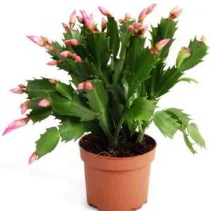 Как размножить цветок декабрист в домашних условиях, методы, технология