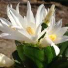 Декабрист — где родина комнатного растения шлюмбергера?