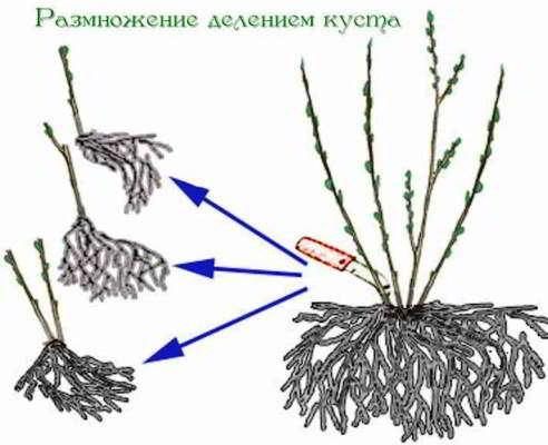 размножение лапчатки кустарниковой
