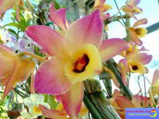 дендробиум нобиле уход в домашних условиях фото после цветения