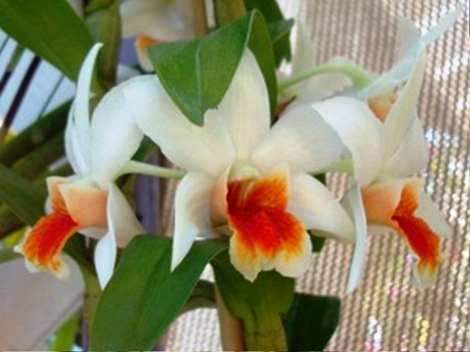 орхидея дендробиум уход фото