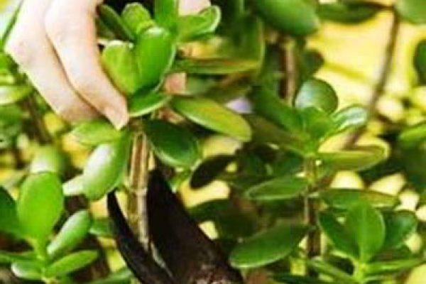 денежное дерево уход в домашних условиях цветение обрезание
