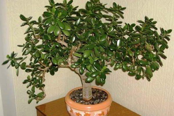 денежное дерево уход в домашних условиях цветение размножение