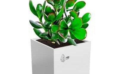 Комнатное растение денежное дерево на фото конкурсе «Цветы в моем доме»