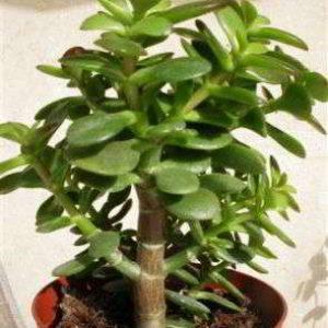 Денежное дерево: правильный уход в домашних условиях