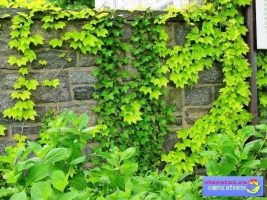 вьющиеся растения для забора быстрорастущие фото