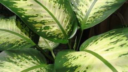 Диффенбахия: правила ухода за цветком за в домашних условиях
