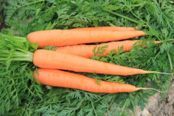 посадка моркови осенью под зиму сорта