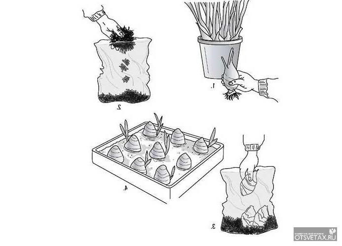 как размножить орхидеи в домашних условиях