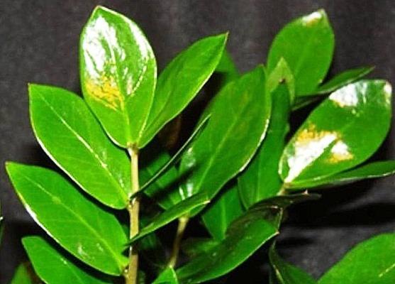 растение замиокулькас долларовое дерево