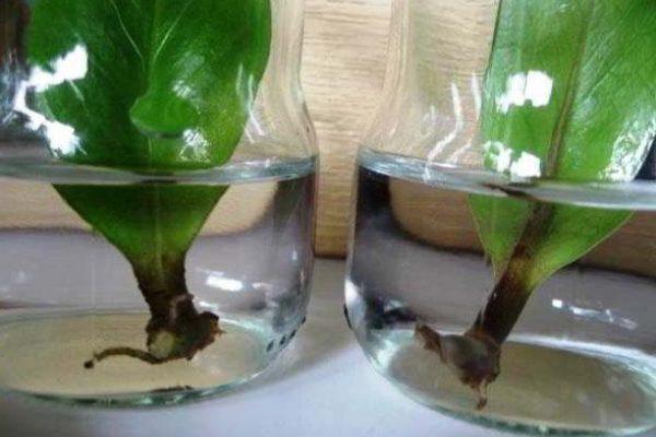 долларовое дерево фото уход в домашних условиях размножение