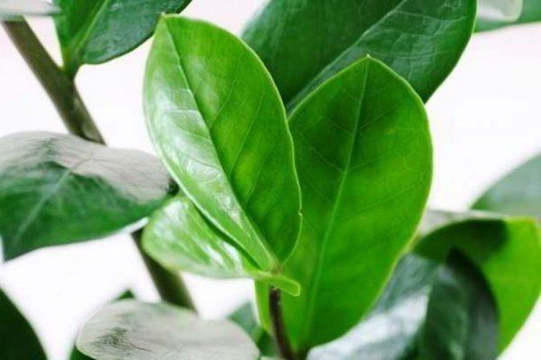 долларовое дерево фото уход в домашних условиях болезни