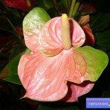 мужской цветок антуриум фото