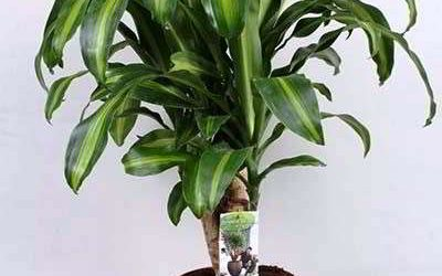Драцена: нюансы ухода за цветком в домашних условиях
