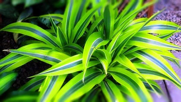 драцена цветок родина растения