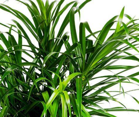 драцена комнатное растение родина