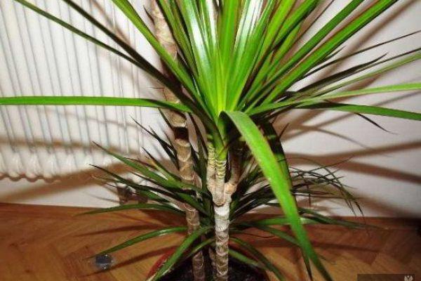 драцена маргината уход в домашних условиях фото сохнут листья