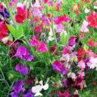 Как без ошибок вырастить однолетний душистый горошек из семян