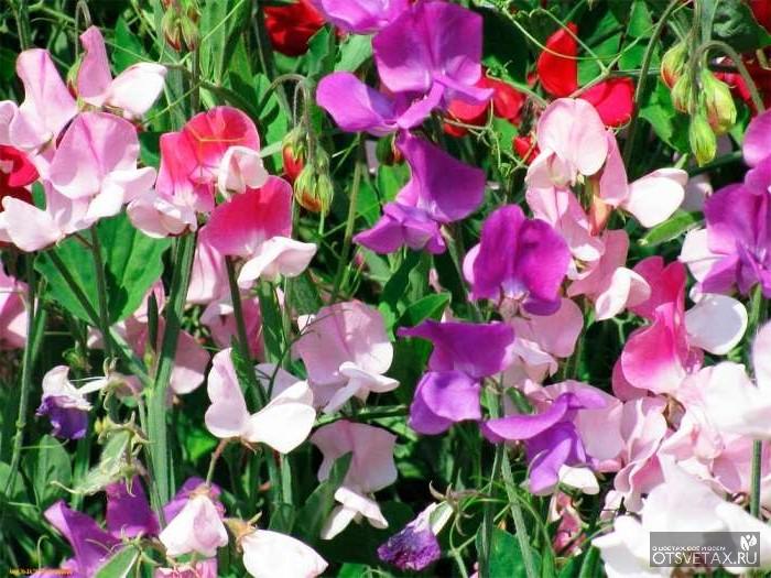 вьющиеся растения для сада фото и названия гортензия