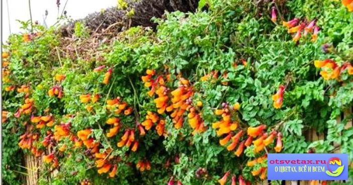 вьющиеся растения для забора быстрорастущие для подмосковья